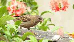 Pardal (sileneandrade10) Tags: sileneandrade pardal passerdomesticus housesparrow pássaro passarinho nikoncoolpixp900 nikon hibiscus alimento hibisco jardim mygarden