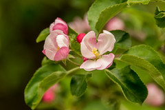 _DSC7120 (sklachkov) Tags: bloom flowers summer apple trees