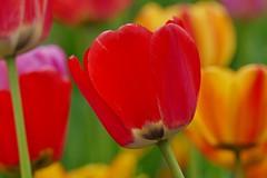 Panasonic FZ1000, Tulips, Botanical Gardens, Montréal, 20 May 2019 (8) (proacguy1) Tags: panasonicfz1000 tulips botanicalgardens montréal 20may2019