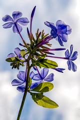 Backlight Blue (Ed Rosack) Tags: flower sky usa centralflorida cloud blue wintersprings florida cloudy