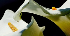 calla lily (3) (itsuo.t) Tags: flowers insect callalily カラー 花