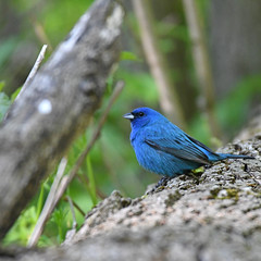 Indigo Bunting (Digital Plume Hunter) Tags: