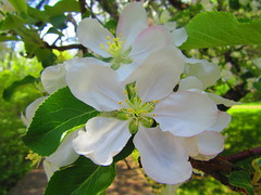IMG_6449 6-1-2019 (PGK88) Tags: flowers blossoms blooms white leaves petals tree appleblossoms appletree spring springtime outdoors closeup macro 2019