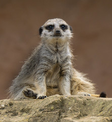 On the Look Out (Kerry711) Tags: 18105mm a6000 alpha animal doncaster england f4 glens madagascar meerkat mirrorless sony southyorkshire yorkshirewildlifepark wild