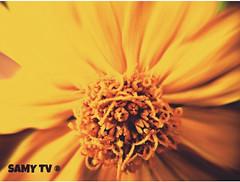 #Macro of a #Yellow #Flower  #Macro d'une #fleur #Jaune (SamyTV+300000views/vues(youtube.com/user/LiLsam972) Tags: macro flower fleur yellow jaune explore inexplore explored exploregroup macrodream