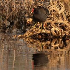 Common Moorhen searching for breakfast.  #sfracfoto #natureimages #birdsofinstagram #naturephotography #flaudobon #wetlands #rail #birdphotography  #marsh #birds #everglades #sofla #ilovebirds #ilovenature #natgeoyourshot #floridabirds #canon #tamron150-6 (SFracphoto) Tags: naturephotography birds rail sfracfoto birdphotography canon ilovenature birdsofinstagram natureimages sofla floridabirds tamron150 everglades ilovebirds wetlands natgeoyourshot marsh flaudobon
