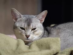 20190412_07_LR (enno7898) Tags: panasonic lumix lumixg9 dcg9 xvario 35100mm f28 cat pet abyssinian