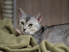 20190412_11_LR (enno7898) Tags: panasonic lumix lumixg9 dcg9 xvario 35100mm f28 cat pet abyssinian