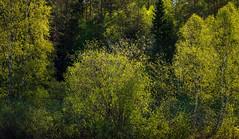 Morninglight in spring (Fjällkantsbon) Tags: doroteakommun lövträd träd morgon lappland högland sverige evamårtensson västerbottenslän vår vårljus spring springlight light sapmi taiga