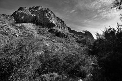 A Tonal Contrast of Greens and Yellows Leading up a Mountainside (Black & White, Big Bend National Park) (thor_mark ) Tags: bigbendnationalpark bigbendranges blackwhite blueskieswithclouds capturenx2edited chihuahuandesert chisosmountains cloudwisps colorefexpro day4 desert desertlandscape desertmountainlandscape desertplantlife hiketo​thewindow hillsideoftrees intermountainwest landscape lookingeast mountains mountainsindistance mountainsoffindistance mountainside nature nikond800e outside project365 pulliampeak southwestbasinsandranges sunny transpecostexasranges trees triptobigbendnationalpark usbiospherereserve volcanicpast windowtrail ​thewindowtrail​ tx unitedstates