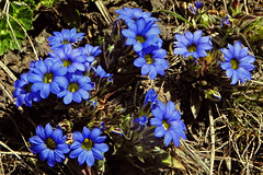 The Blues !! (Lopamudra !) Tags: lopamudra lopamudrabarman lopa flora flower flowers harkidoon harkidun india garhwal uttaranchal uttarakhand uttarkhand trek trekking wilderness wild blue colour color colours colourful cold himalaya himalayas highaltitude highland mountain mountains valley vale nature pretty beauty beautiful