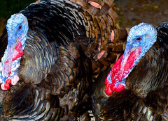 Tom Tom (donjuanmon) Tags: donjuanmon nikon nature cliches hcs turkey feathers blue black red brown copper texture tom