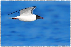 Laughing Gull (RKop) Tags: capemay raphaelkopanphotography cookbeach d500 600mmf4evr 14xtciii nikon