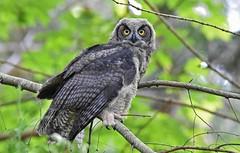 Friend or foe?? (Snixy_85) Tags: greathornedowl owlet bubovirginianus owl