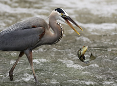 The One That Got Away (Pragmatic1111) Tags: nature outdoors wildlife bird heron greatblueheron fish river airborne escape nikon d500 oklahoma wet evening beautiful beauty sunset
