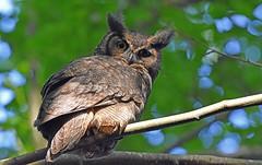 Owl glare (Snixy_85) Tags: owl greathornedowl bubovirginianus