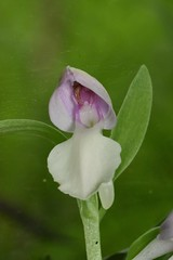 Galearis spectabilis (Platantheraphile) Tags: orchidaceae angiosperms plants vermont us galearis orchideae