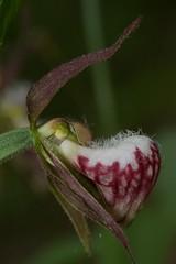 Cypripedium arietinum (Platantheraphile) Tags: orchidaceae angiosperms plants us vermont cypripedium cypripedioideae