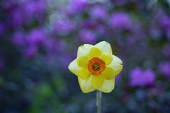 Narcisse et rhododendron (Patrice StG) Tags: sony a7ii bokeh cosinon55mmf21 vintagelens vintage flower fleur printemps spring québec boisdecoulonge dusk crépuscule gimp