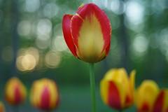 Tulipes (Patrice StG) Tags: sony a7ii bokeh cosinon55mmf21 vintagelens vintage flower fleur printemps spring québec boisdecoulonge dusk crépuscule gimp