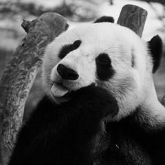 Tongue (mgschiavon) Tags: animal zoo california blackandwhite blackwhite bw portrait