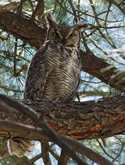 Great Horned Owl (Ryan Strickhouser) Tags: great horned owl colorado tree bird