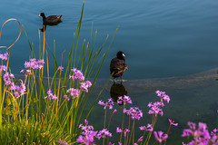 American Coot (Daren Grilley) Tags: california santa lake bird birds duck los angeles waterfowl clarita nikon z 2470 zseries z6 flowers spring colorful