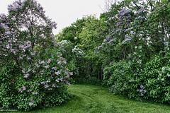 Round the Lilac Bush (gabi-h) Tags: lilacs yard garden gabih pink purple white flowers fragrant grass path newlymowed bush shrubs trees wild princeedwardcounty besttimeofyear