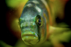 Fish Face to face (donjuanmon) Tags: donjuanmon nikon macro nature fish eyes mouth underwater water