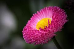 Pink dress (Domikawa4) Tags: outdoor extérieur flower fleur canon 80d tamron 90mm sp eos rose pink