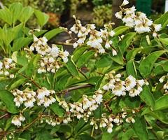 Deutzia scabra ´Candidissima´; Hydrangeaceae (1) (pflanzenflüsterer) Tags: hydrangeaceae deutzia deutziascabra härlen garten stelle niedersachsen germany strauch weis white japan ostasien asien rispe gefüllt gehölzrand laubwerfend endemit