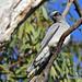 Black-faced Cuckoo Shrike_immature_Dimboola (0635)