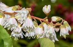 Deutzia scabra ´Candidissima´; Hydrangeaceae (2) (pflanzenflüsterer) Tags: hydrangeaceae deutzia deutziascabra härlen garten stelle niedersachsen germany strauch weis white japan ostasien asien rispe gefüllt gehölzrand laubwerfend endemit