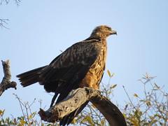 Tawny Eagle / Roofarend (Pixi2011) Tags: birds birdsofprey krugernationalpark southafrica africa wildlifeafrica nature shingwedzi