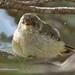 Buff-rumped Thornbill - juvenile (0859)