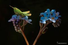 Myosotis-decumbens subps. teresiana( No me olvides) y saltamontes (Lucas Gutiérrez) Tags: myosothisdecumbenssubpsteresiana saltamontes parquenaturaldesierranevada capileira laalpujarra luz floraazul granada granadanatural lucasgutierrezjimenez nomeolvides