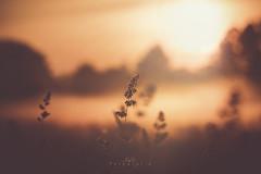 Sonnenaufgang am Niederrhein (EmPi Fotografie) Tags: pflanze sonnenaufgang niederrhein empifotografie empi fotografie natur farbe lichtstimmung verträumt nrw hamminkeln morgens nebel dunst gras fokus