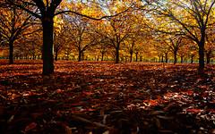 Under the Canopy (D-GaP Photos) Tags: dgap chestnut tree farm autumn fall nature