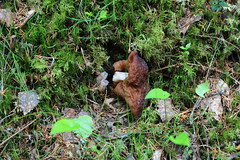 Gyromitra esculenta Korvasieni_2019_05_30_0003 (FarmerJohnn) Tags: korvasieni gyromitraesculenta fatal sieni mushroom fungus fungi строчокобыкновенный гриб metsä forest sieniretki kevät spring may toukokuu myrkyllinen poisonous осень herkullinen delicious вкусный грибсемействалисичковых осеньвкусный metsäsieni laukaa valkola suomi finland canon eos5dmarkiii ef24105l40isusm juhanianttonen