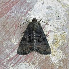 Marbled Minor agg. (AndyorDij) Tags: marbledminoragg noctuidae nationalmothweek andrewdejardin lepidoptera moth insect england empingham empinghammoths rutland uk unitedkingdom