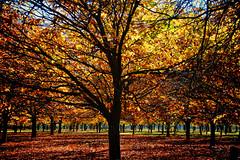 Chestnut Trees (D-GaP Photos) Tags: chestnut farm dgap orchid tree autumn fall leaf