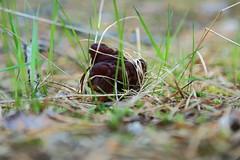 Gyromitra esculenta Korvasieni_2019_05_30_0002 (FarmerJohnn) Tags: korvasieni gyromitraesculenta fatal sieni mushroom fungus fungi строчокобыкновенный гриб metsä forest sieniretki kevät spring may toukokuu myrkyllinen poisonous осень herkullinen delicious вкусный грибсемействалисичковых осеньвкусный metsäsieni laukaa valkola suomi finland canon eos5dmarkiii ef24105l40isusm juhanianttonen