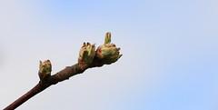 Apple trees_2019_05_05_0002 (FarmerJohnn) Tags: omenapuu appletree kukinto blossom kukka valkoinen white pink kevät spring toukokuu may green vihreä nurmikko grass lawn puut trees puutarha garden canon canoneos5dmarkiii juhanianttonen finland laukaa valkola anttospohja canonef70200l40isusm
