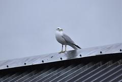 Mew Gull (Larus canus) (Common Buzzard) Tags: dufftown grampian scotland birds seabirds gulls mewgull