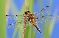 Four-spotted Chaser (paul.taylorptct) Tags: four spotted chaser dragonfly ormesby