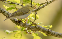 DSC3400  Wood Warbler.. (Jeff Lack Wildlife&Nature) Tags: woodwarbler birds bird avian animal animals wildlife wildbirds woodlands woodland woods wildlifephotography jefflackphotography warbler warblers songbirds summermigrant trees forest forests forestry countryside copse nature