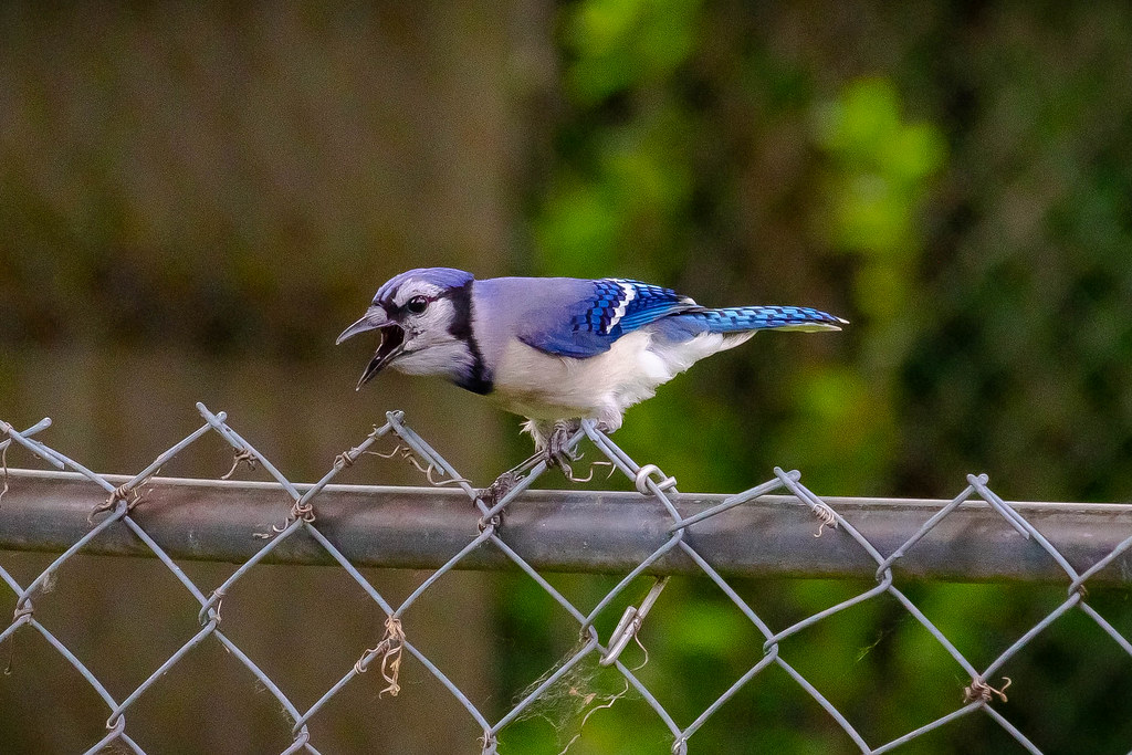 85672067e8d Blue Jay (WhatisBokeh) Tags: blue jay canon fence nature bird wildlife
