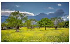 Spring (Ignacio Ferre) Tags: alpedrete madrid españa spain trees árboles primavera spring naturaleza nature paisaje landscape amarillo yellow nikon