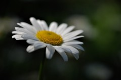 Like snow in summer (Kaska Ppp) Tags: nature flower daisy white yellow