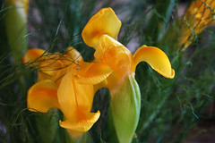 Dans la pinède (hans pohl) Tags: portugal sesimbra meco nature fleurs flowers plantes plants jaune yellow